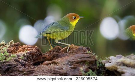 Close Up Tesia Castaneocoronata  : Bird Shot In Thailand