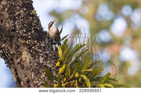 White Browed Scimitar Babbler : Bird Shot In Thailand