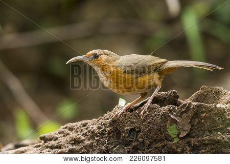 Rusty Cheeked Scimitar Babbler : Bird In Thailand