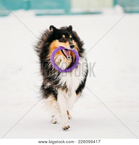 Funny Young Shetland Sheepdog, Sheltie, Collie Playing With Ring Outdoor In Snow, Winter Season. Pla