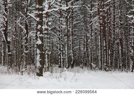 Quiet Winter Forest After A Day Of Snow