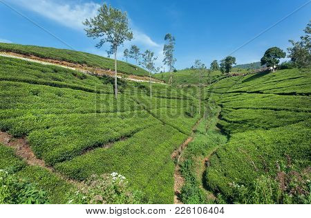 Tea Plantations On Beautiful Landscape With Trees And Lush Of Green Hills. Sri Lanka Environment.