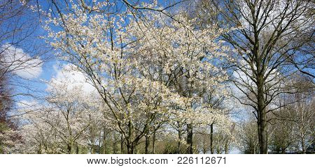 White Cherry Blossom Tree Against A Blue Sky In Lisse, Netherlands, Europe