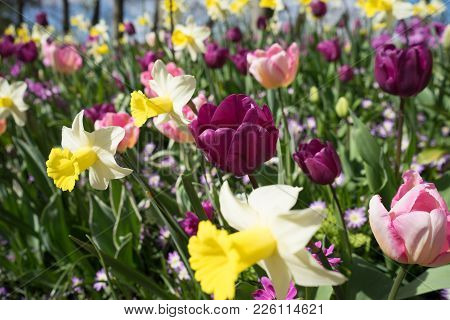 Yellow Daffodil And Pink Tulip Flowers In A Garden In Lisse, Netherlands, Europe