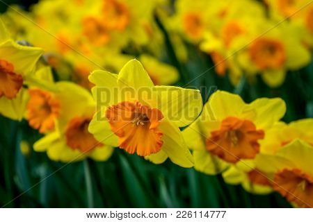 Yellow Coloured Daffodil With Blurred Background  In Lisse, Keukenhoff,  Netherlands, Europe