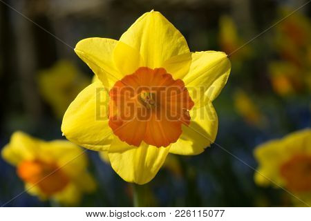 Yellow Orange Daffodil Flowers In A Garden In Lisse, Netherlands, Europe