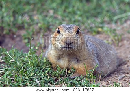 Closeup Of Cute Little Gopher Lying On A Green Meadow, Funny Face Gopher