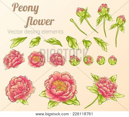Peony Flower.  Desing Elements Collection. Vector Illusnration.