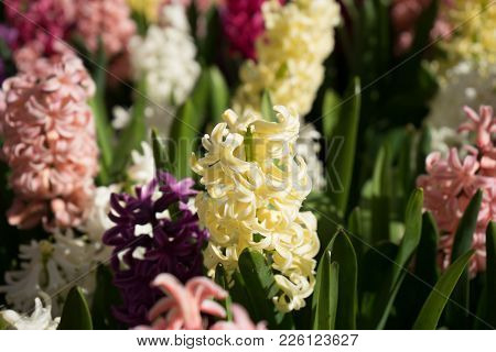 Colored Hyacinth Flowers At A Garden In Lisse, Netherlands, Europe