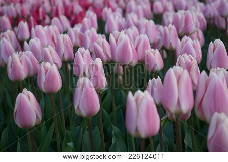 Pink And Rose Colored Tulip Flowers In A Garden With Fountain In Lisse, Netherlands, Europe