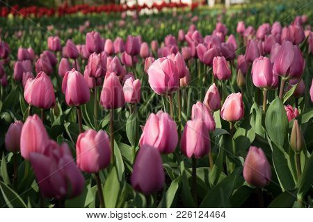 Red Color Tulip Flowers In A Garden In Lisse, Netherlands, Europe