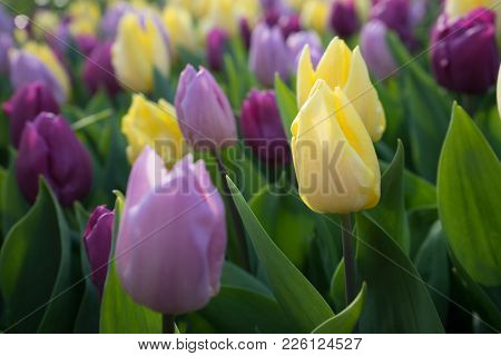 Yellow And Pink Colored Tulip Flowers In A Garden With Fountain In Lisse, Netherlands, Europe
