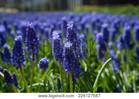 Blue Hyacinth With Blurred Foreground In A Garden In Lisse, Netherlands, Europe