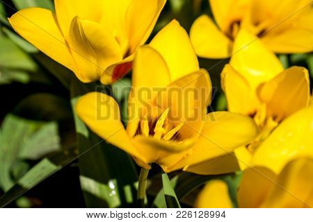 Yellow Tulips In A Garden In Lisse, Netherlands, Europe With A Blurred Background