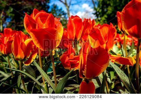 Orange Tulip Flowers With A Yellow Tinge In A Flower Garden In Lisse, Netherlands, Europe