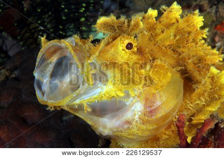 Yellow Weedy Scorpionfish (rhinopias Frondosa) With Open Mouth. Anilao, Philippines
