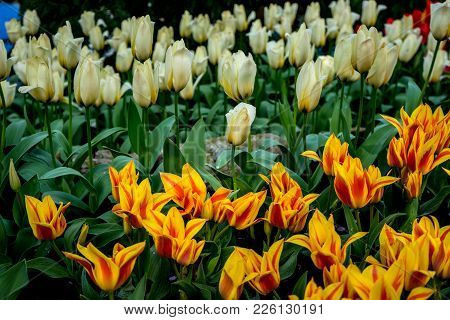 Yellow And White Tulip Flowers In A Garden In Lisse, Netherlands, Europe