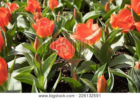 Orange Tulip With A Blurred Background In A Garden In Lisse, Netherlands, Europe