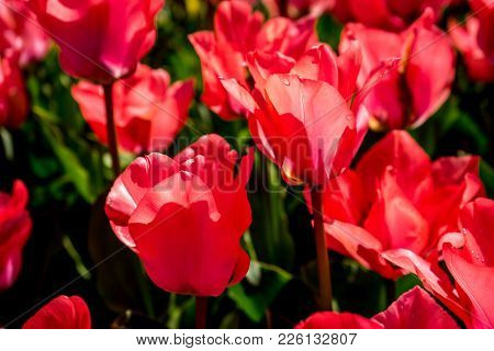 Red Tulips In A Garden In Lisse, Netherlands, Europe