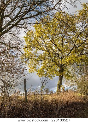 A Tree Is Outlined With Its Golden Crown Against The Dead Winter Nature