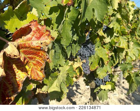 Red Grapes On Grapevine Just Before Harvesting. Focus On The Orange Leaf. Background With Girdle, Ou