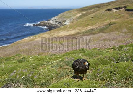Striated Caracara (phalcoboenus Australis) Standing On The Cliffs Of Carcass Island In The Falkland