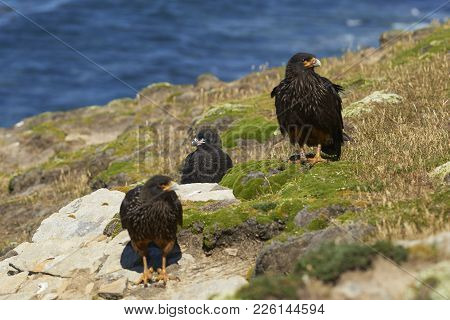 Pair Of Striated Caracara (phalcoboenus Australis) With Their Nearly Full Grown Chick On The Cliffs