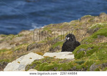Young Striated Caracara (phalcoboenus Australis) On The Cliffs Of Carcass Island In The Falkland Isl