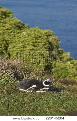 Magellanic Penguin (spheniscus Magellanicus) Lying In The Grass On The Coast Of Carcass Island In Th