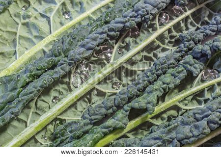 Background of leaves of Italian Lacinato Nero di Toscana heirloom Tuscan dinosaur kale with water drops, horizontal aspect poster