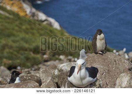 Black-browed Albatross (thalassarche Melanophrys) Nesting Alongside Rockhopper Penguins (eudyptes Ch