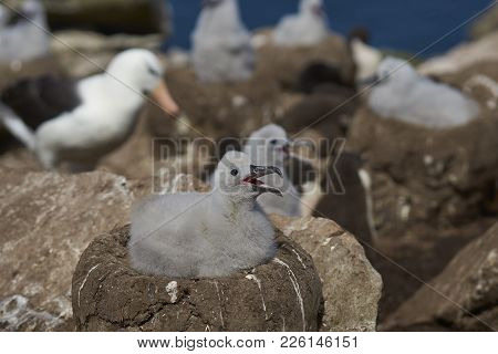 Chicks Of Black-browed Albatross (thalassarche Melanophrys) On The Cliffs Of West Point Island In Th