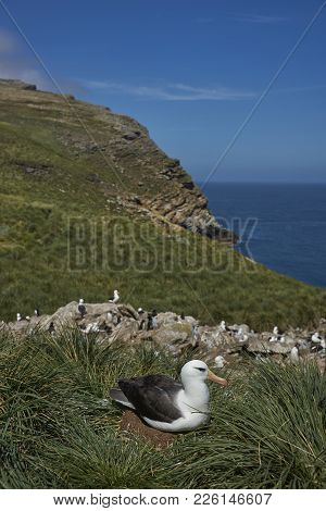 Black-browed Albatross (thalassarche Melanophrys) Sitting On Its Chick In A Nest On The Cliffs Of We