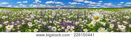 Spring Landscape Panorama With Flowering Flowers On Meadow. White Chamomile And Purple Bluebells Blo
