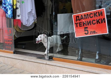 Veliko Tarnovo, Bulgaria - September 5; 2017: White Dog In The Doorway Of The Store