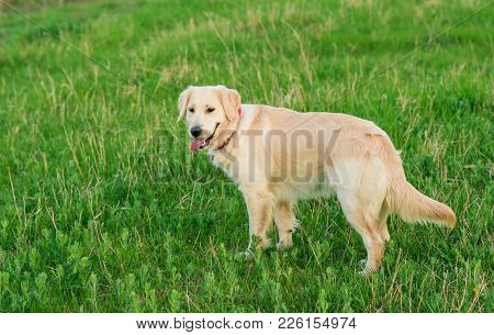 Closeup Portrait Of White Retriever Dog In Summer Background. Portrait Of A White Dog Golden Retriev