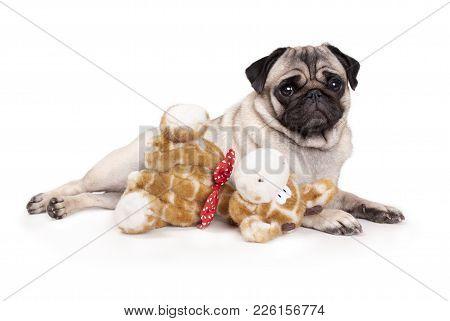 Sweet Pug Puppy Dog Lying Down Like A Model, With Stuffed Animal Giraffe, On White Background