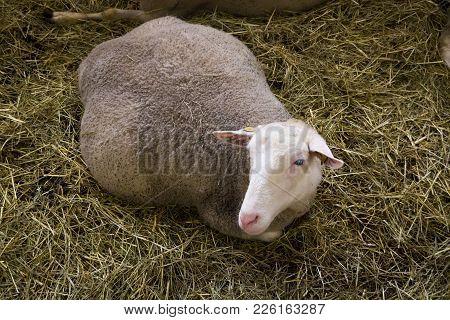 Pregnant Female Sheeps In Sheepfold Farm In The Hay
