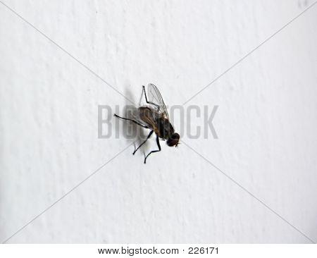 Fly Macro On White Background