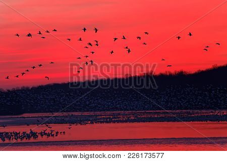 Snow Geese Flying From A Partly Frozen Lake At Sunrise. The Migrating Geese Lay Over At  Middle Cree