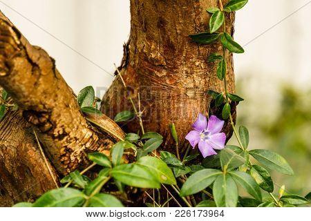 Small Fresh Light Purple Vinca Minor Lesser Periwinkle Flower In Bloom