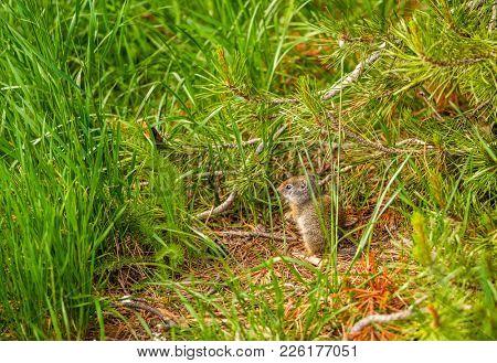 Uinta ground squirrel in Grand Teton National Park, Wyoming, USA