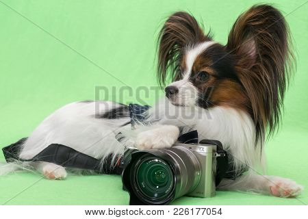 Beautiful Young Continental Spaniel Papillon With A Camera On A Green Background