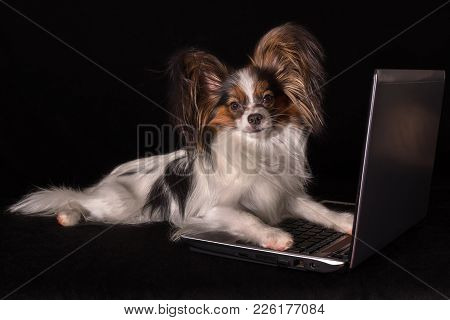 Beautiful Dog Continental Toy Spaniel Papillon Working In Laptop On A Black Background