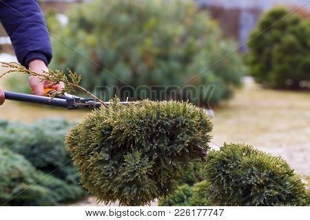 Work In The Garden. Shearing Of The Juniper With Shears. Soft Focus.
