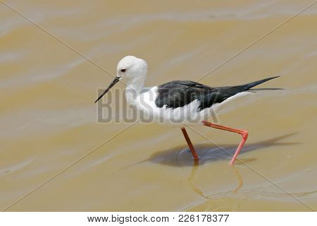 Black-winged stilt (Himantopus himantopus) at Lake Manyara National Park