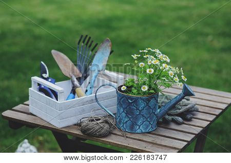 Garden Work Still Life In Summer. Camomile Flowers, Gloves And Toold On Wooden Table Outdoor In Sunn