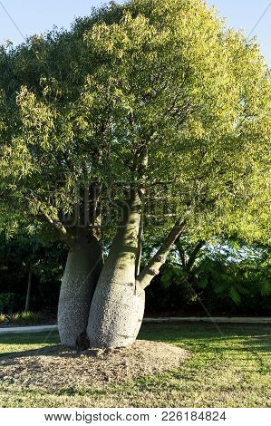The Bottle Tree, Brachychiton Rupestris, Is A Drought Deciduous Succulent Tree Native To Queensland,