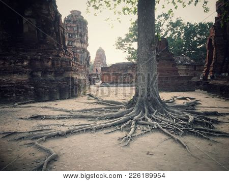 Ancient Remains Of Thai Root Tree In The Historical Park
