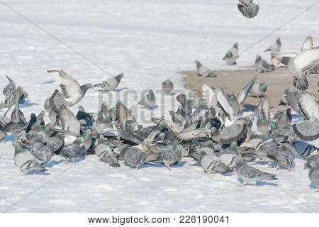 Pigeons Feed In The Winter. A Lot Of Pigeons. A Flock Of Pigeons. Birds Feed In Winter. Birds In The